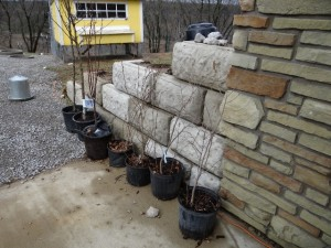 Fruit trees waiting to be planted Saturday