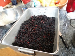 Second harvest of mulberries