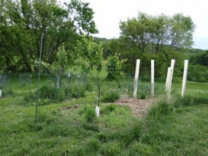 Tree shelters are protecting our cherry bushes for the time being