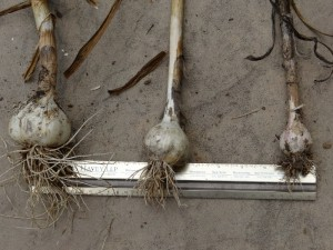 Significant size differences due to soil quality